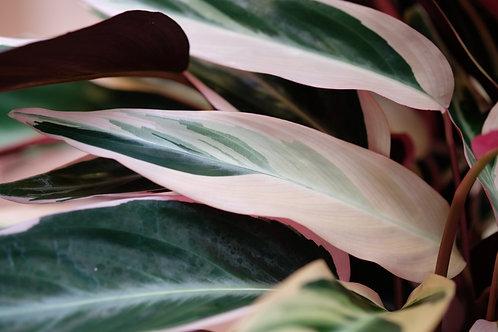 Stromanthe 'Triostar', 12 cm potte