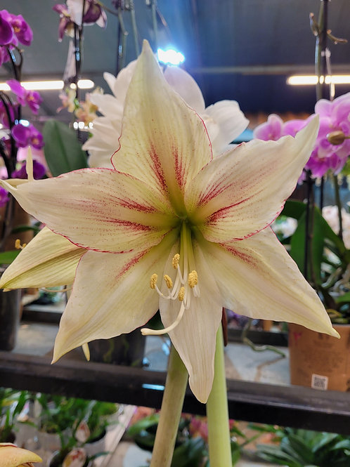 Hippeastrum hybrid 'Magic Green', 14 cm potte