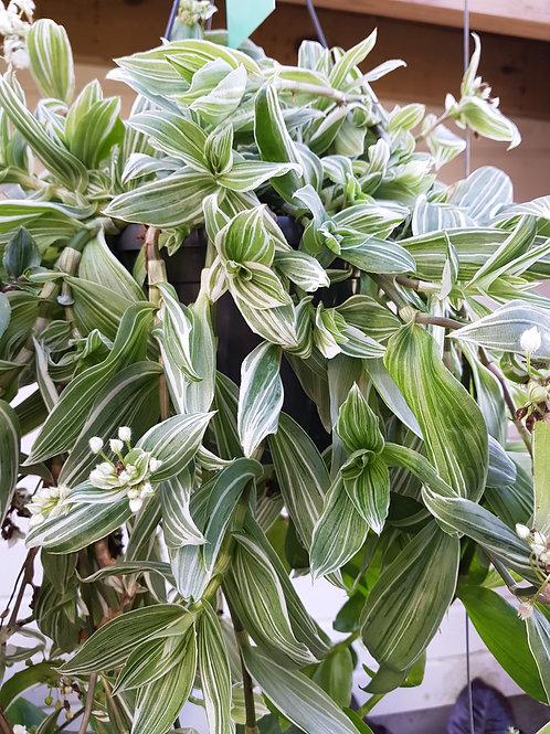 Tradescantia albiflora albo-vittata,  uroted stikling