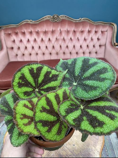 Begonia masoniana 'Rock', 12 cm potte