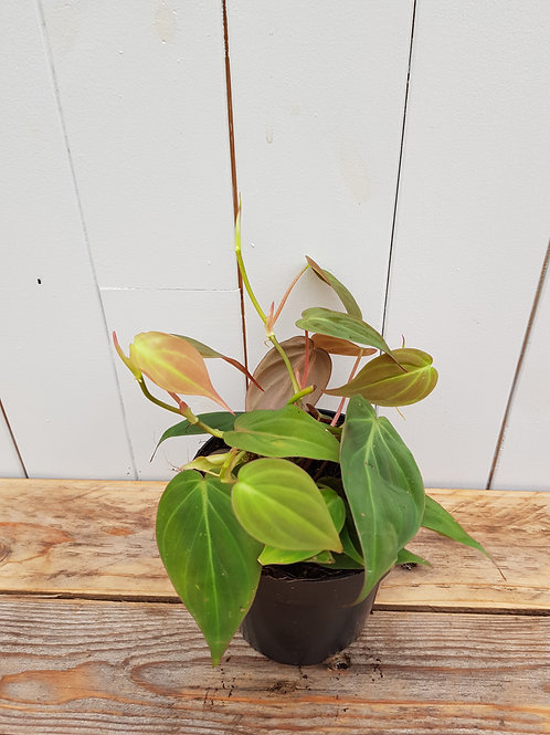 Philodendron hederaceum var. hederaceum, 12 cm potte