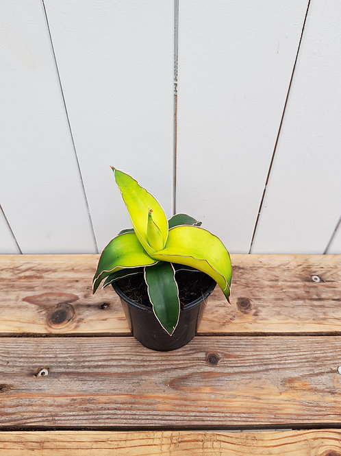 Sansevieria 'Star Canary', 9 cm potte