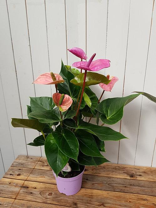 Anthurium 'Cavalli', 14 cm potte