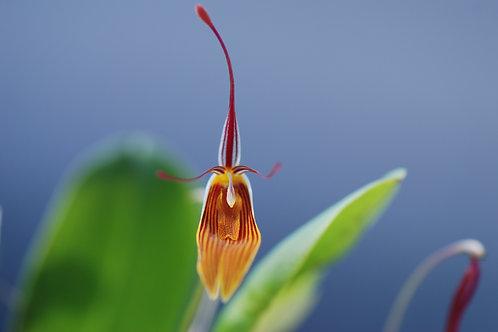 Restrepia antennifera, barroted plante