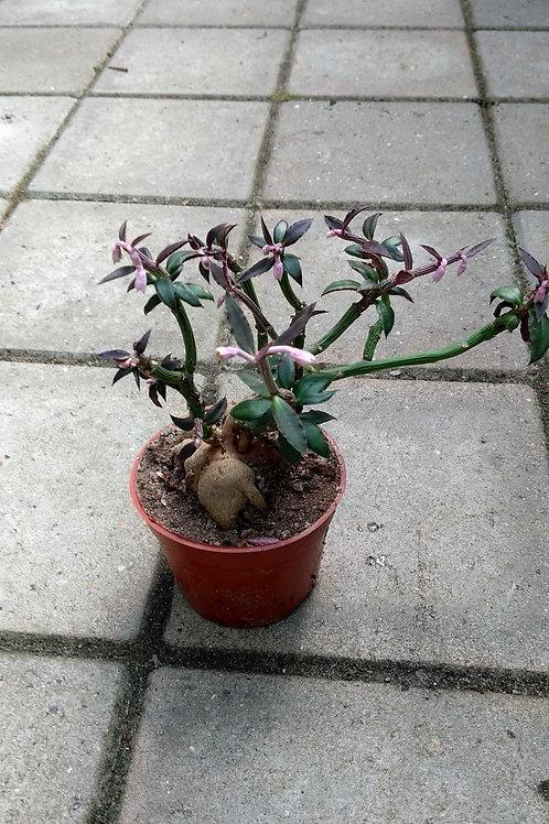 Monadenium rubellum, 8 cm potte