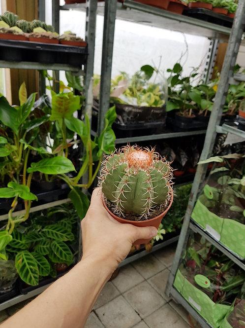 Melocactus matanzanus, 8,5 cm potte