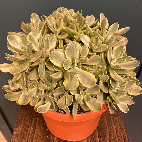 Crassula ovata f. variegata, 17 cm potte