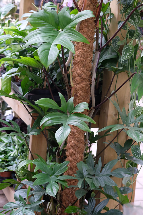 Philodendron pedatum, uroted stikling