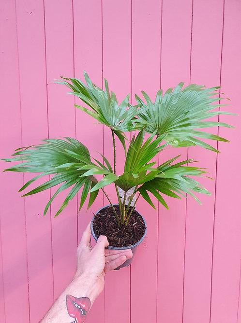 Livistonia rotundifolia, 14 cm potte