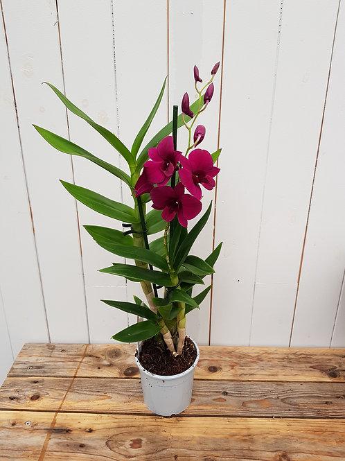 Dendrobium Thailand Black, 11 cm potte