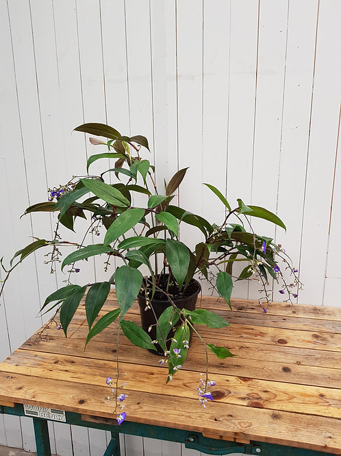 Dichorisandra penduliflora, 19 cm potte