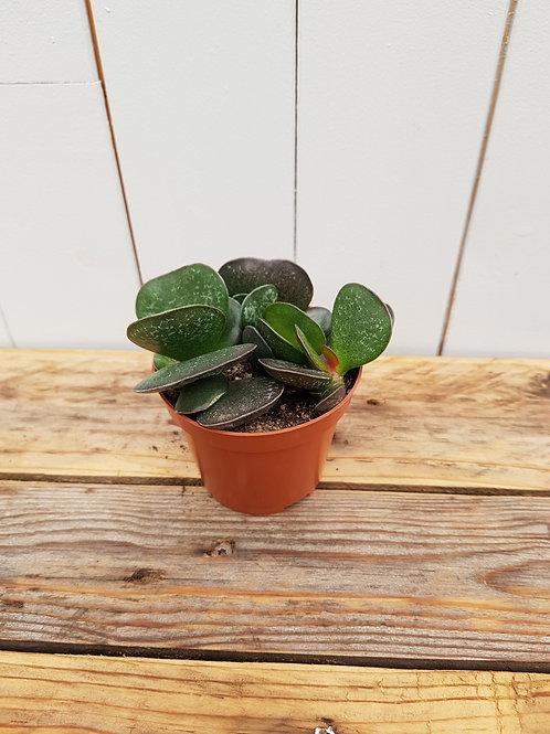 Andromischus sp.  3, 8 cm potte
