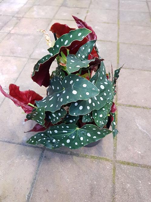 Begonia maculata,  12 cm potte