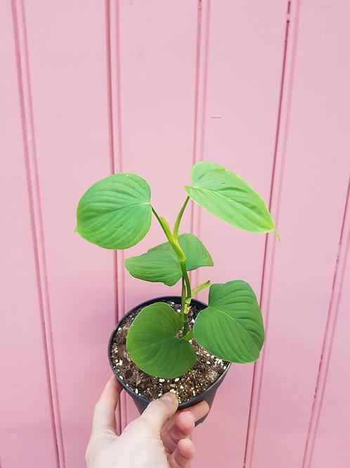Philodendron fibraecataphyllum,   12 cm potte