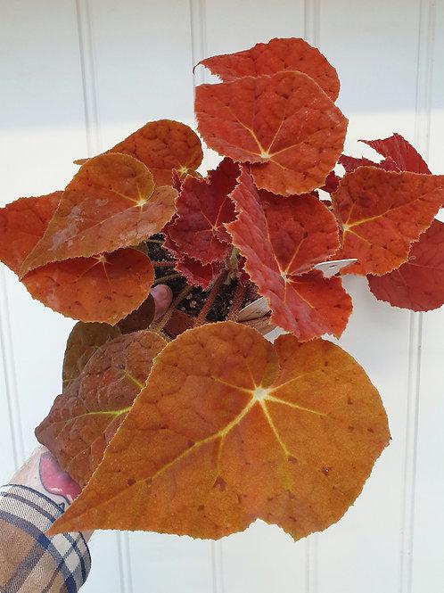 Begonia 'Autumn Ember', 16 cm leirpotte