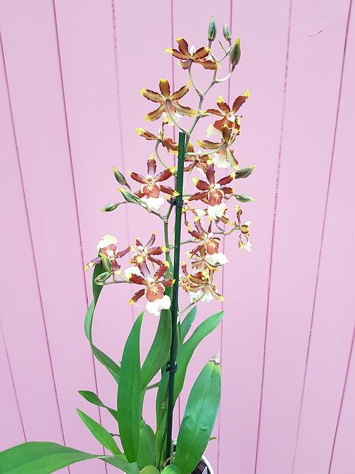 Odontoglossum hybrid,  12 cm potte