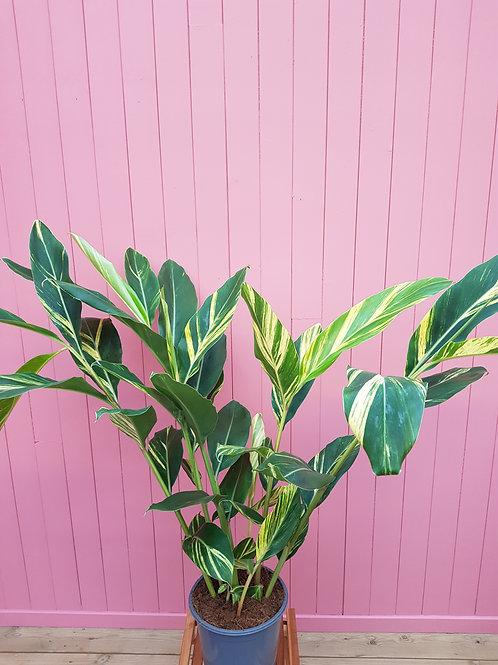 Alpinia zerumbet f.variegata, 21 cm potte