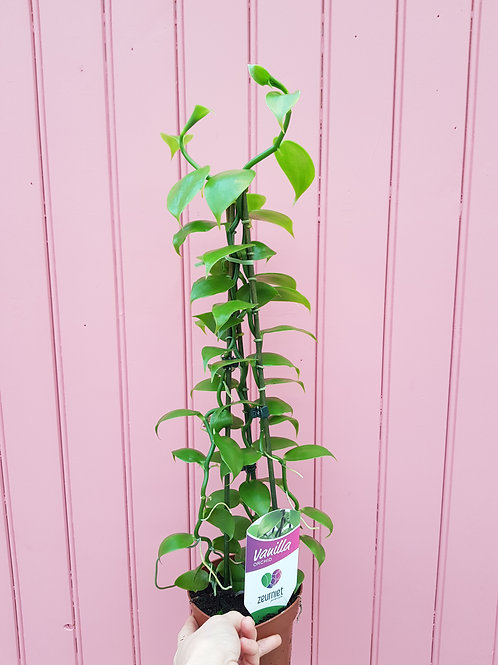 Vanilla planifolia, uroted stikling