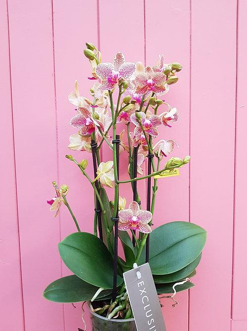 Phalaenopsis Picachu, 12 cm potte