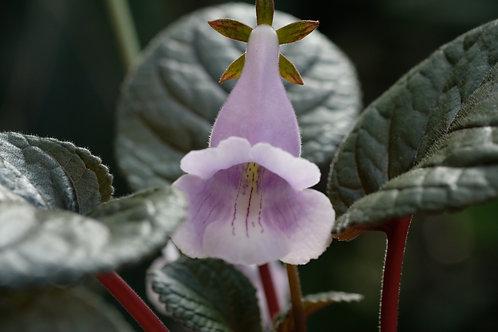 Sinningia eumorpha 'Saltao', 12 cm potte