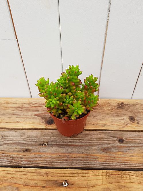 Sedum rubrotinctum, 8 cm potte