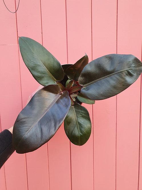 Philodendron Black Cardinal, 12 cm potte