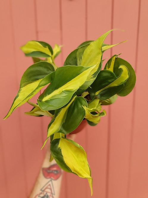 Philodendron hederaceum var.oxycardium (Brasil), 13 cm potte