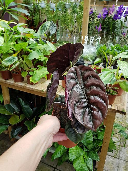 Alocasia cuprea, 12 cm potte