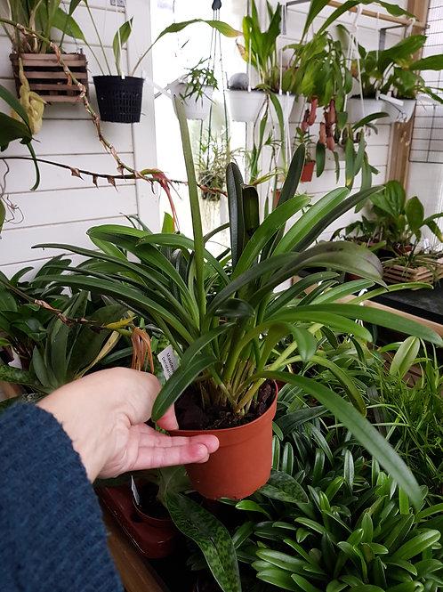 Masdevallia peristeria, 10 cm potte