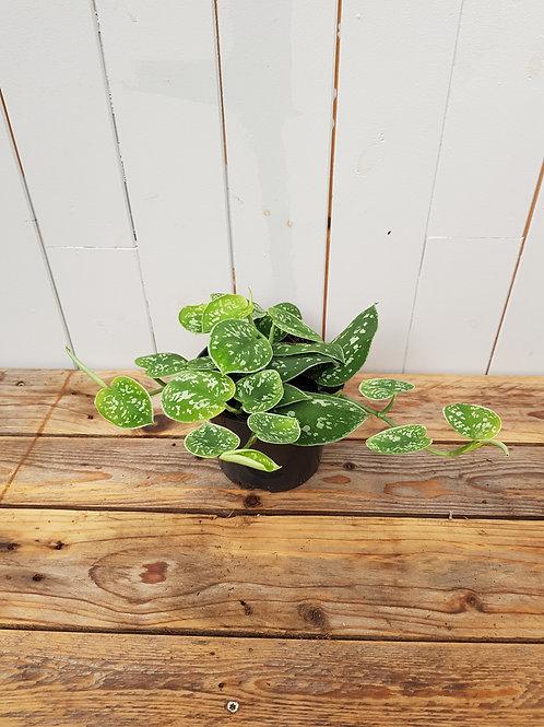 Epipremnum pictus 'Argyraeus', 12 cm potte