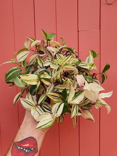 Tradescantia fluminensis f.tricolor, 12 cm potte