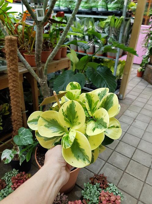 Peperomia obtusifolia 'Green Gold', 14 cm potte