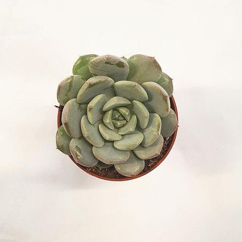 Echeveria derenbergii Blue, 5,5 cm potte