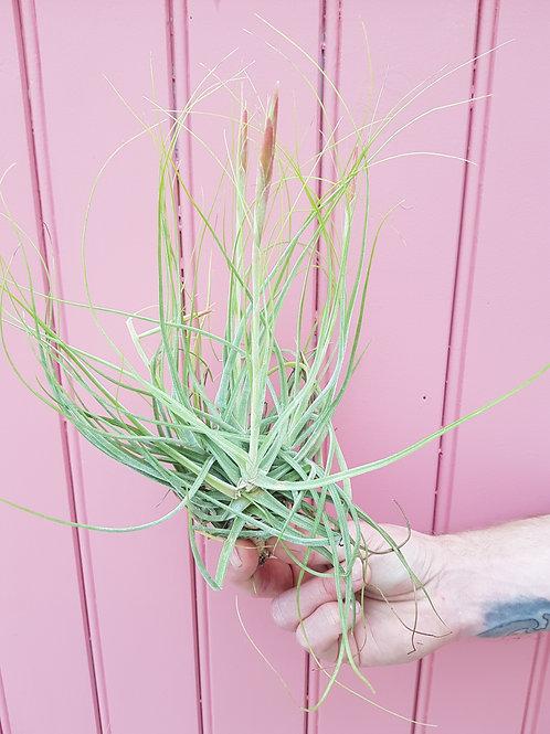 Tillandsia schiedeana, 1 st