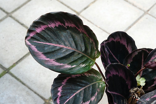 Calathea roseopicta 'Surprise Star',  12 cm potte