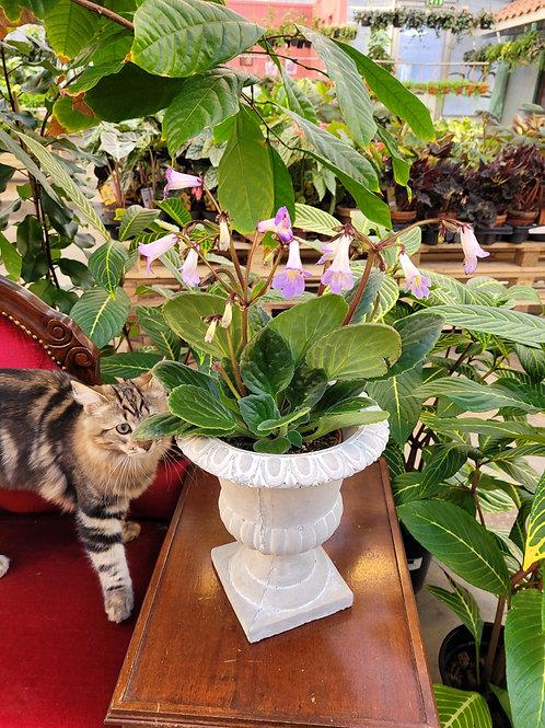 Primulina hybrid, 13 cm potte