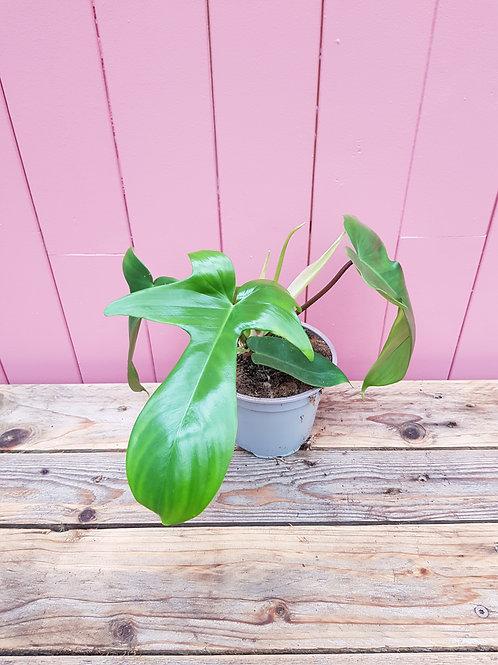Philodendron 'Florida', 12 cm potte