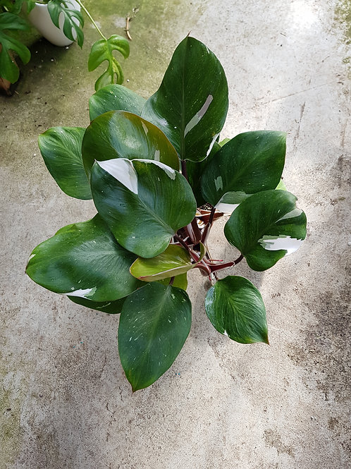 Philodendron 'White Knight', 14 cm potte