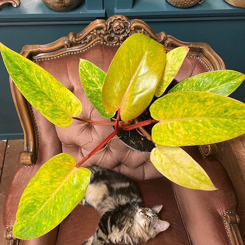 Philodendron 'Painted Lady', 17 cm potte