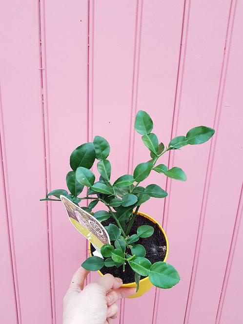 Citrus hystrix, 12 cm potte