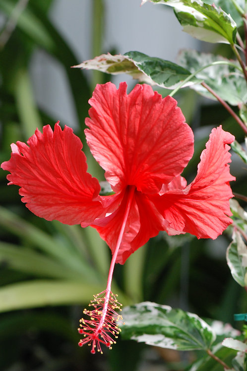 Hibiscus 'Snow Queen', uroted stikling