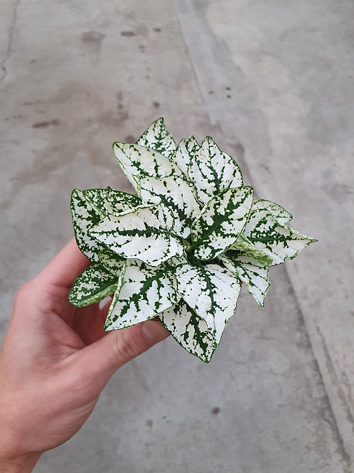 Hypoestes phyllostachya hvit, 8 cm potte