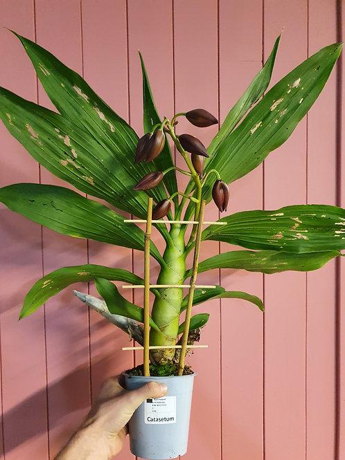 Cycnodes hybrid, 12 cm potte