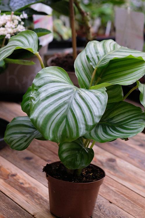 Calathea orbifolia, 12 cm potte