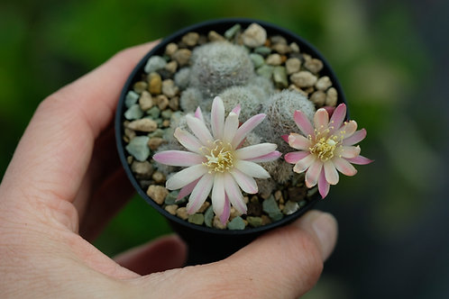 Rebutia albiflora cv. Sunrise