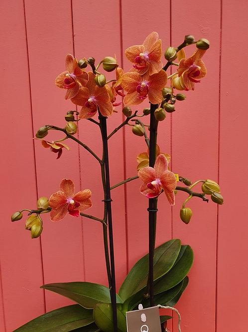 Phalaenopsis Sunset love, 14 cm potte