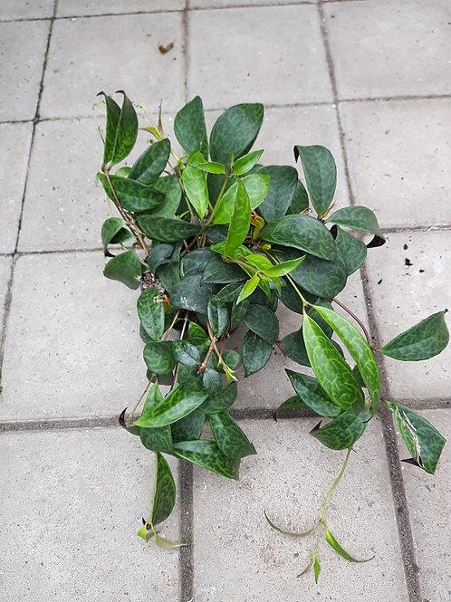 Aeschynanthus marmoratus, 11 cm potte