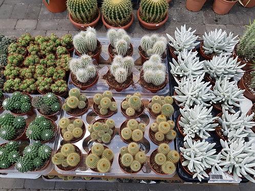 Kaktus- og sukkulentpakke med 5 planter