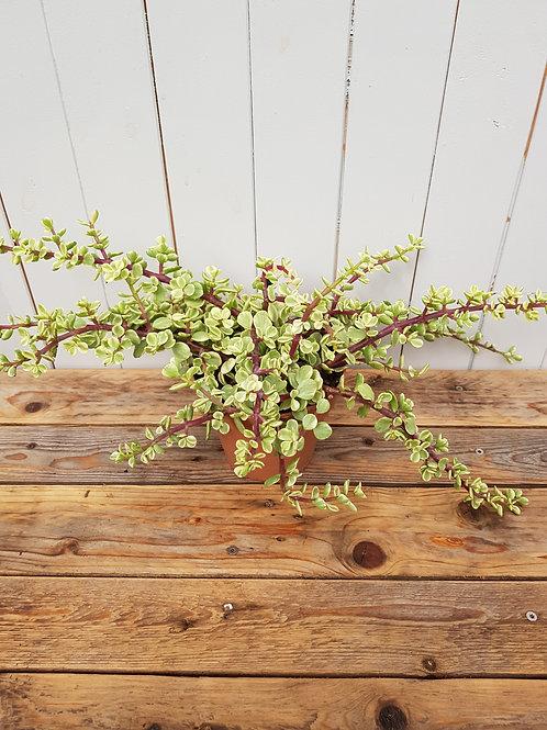 Portulacaria afra f.variegata, 14 cm potte