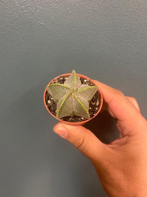 Astrophytum myriostigma, 5cm potte